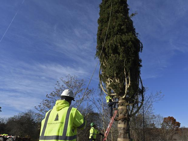A photo of the Rockefeller Center Christmas tree being cut down for the Plaza.